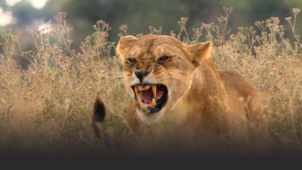 A roaring lion bares its teeth