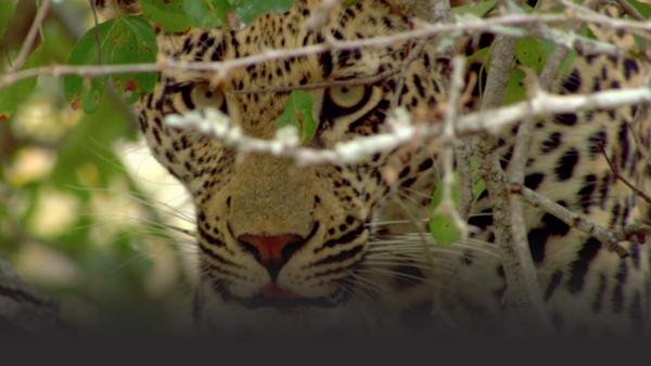 Closeup of leopard facing camera with twigs in foreground