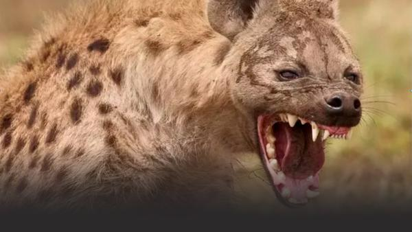 Austin Stevens gets too close for comfort with a deadly hyena