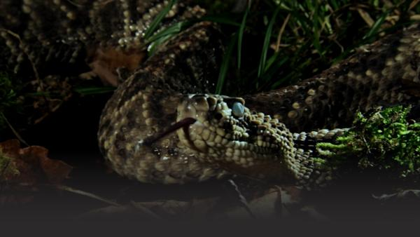 Large rattlesnake with blue eyes faces camera, tongue slithering