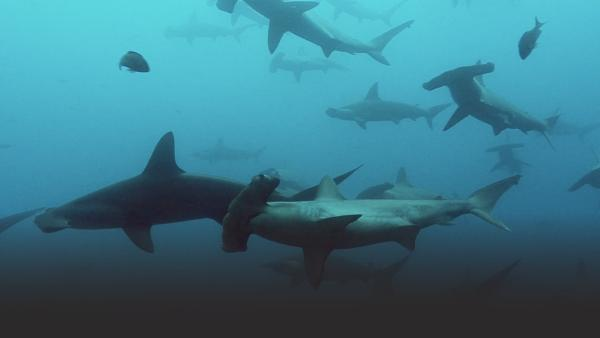 Pack of sharks
