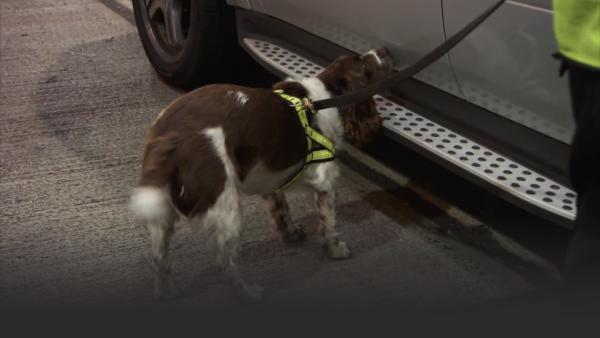 Sniffer dog may detect something inside the car.