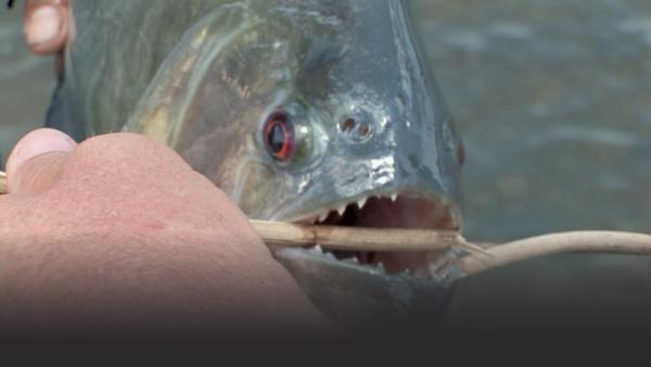 Black piranha bites a stick in half