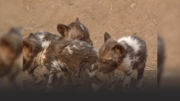 Baby wild dogs