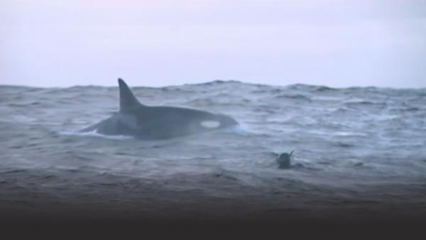 Large killer whale surfaces with diver's head above water watching
