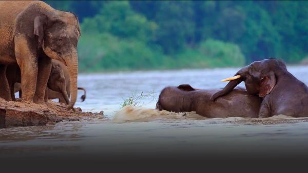 Elephants in a river