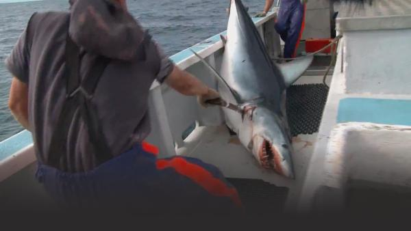 The Hardliners catch a huge shark