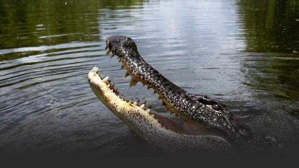 Alligator kills South Florida resident in Silver Lakes Rotary Nature Park in Davie