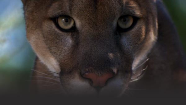 Close up shot of a cougar face