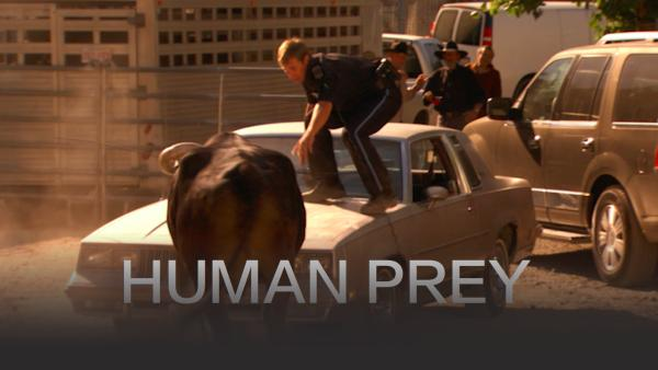 Runaway rodeo bull menaces the public and the po-po