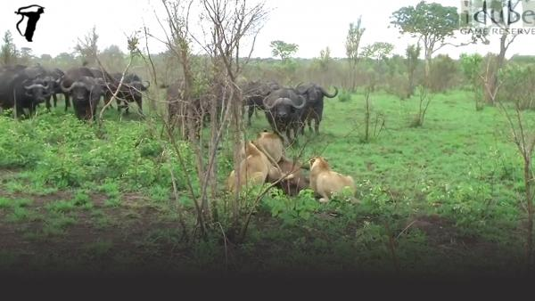 Three lions take on a herd of water buffalo