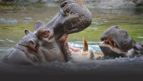 Two hippos go mouth to mouth