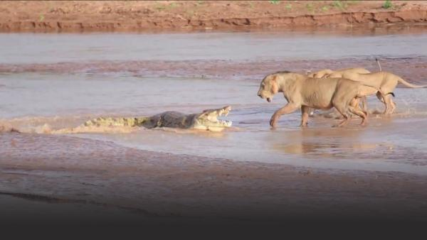 Lions fight crocodile for elephant carcass
