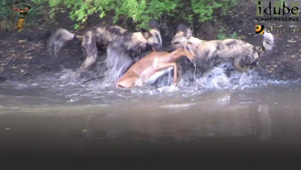 two dogs take on an impala on a river bank