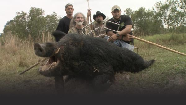 A huge wild boar and its hunters