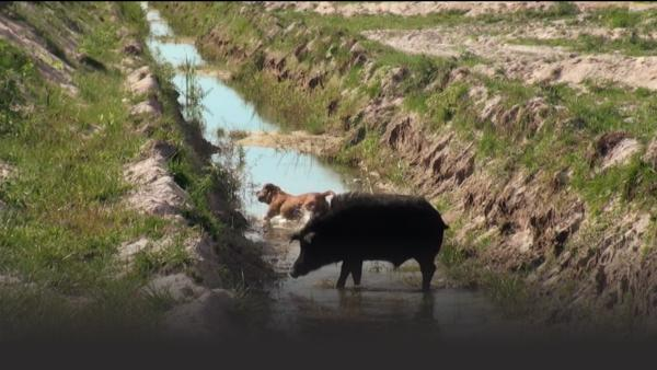 Wild hog and a dog in ditch