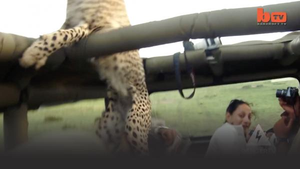 Cheetah falling into a Land Rover