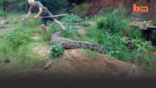 Crocodile attacks a man