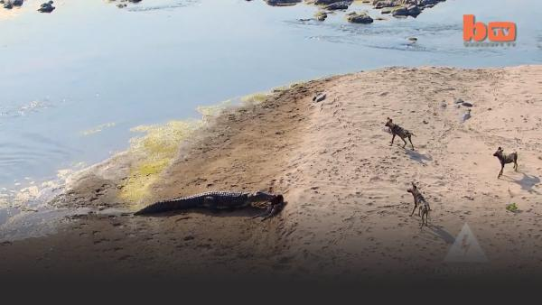 Crocodile approaches hyenas