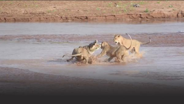 A pack of lions fight a crocodile over an elephant carcass