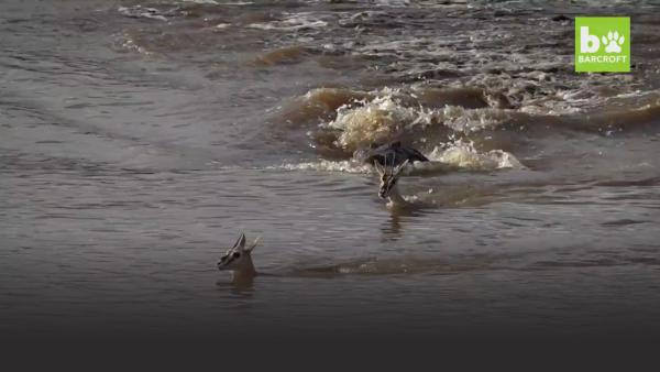 Crocodile follows gazelles in a river