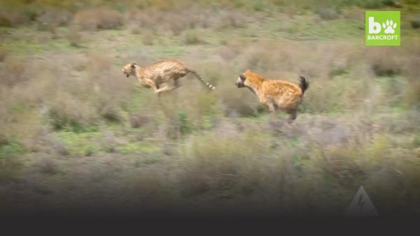 Hyena chases leopard