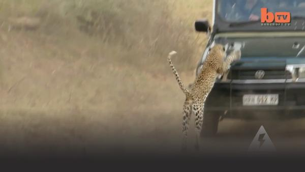 Leopard attacks a truck