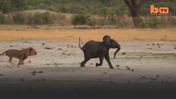 Lion chases a  baby elephant