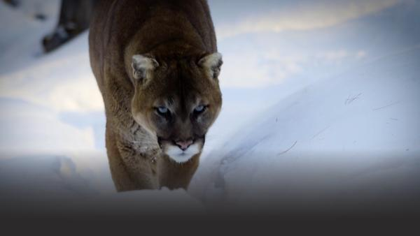 A mountain lion walking through snow
