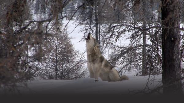 A wolf howls at the sky, sitting on the snow between a bunch of trees